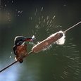 がまの穂を魚に見立て振り回す